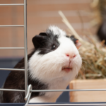 Use AllPets Vets' list to beat the Guinea Pig Holiday Blues