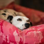 Richard answers FAQs on dog pregnancy